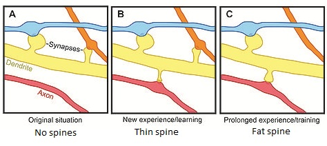Dendritic Spine dynamics
