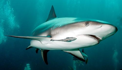 shark_remora