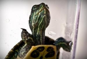 Chinatown turtle
