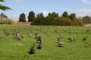 Canadian Geese Shoreline