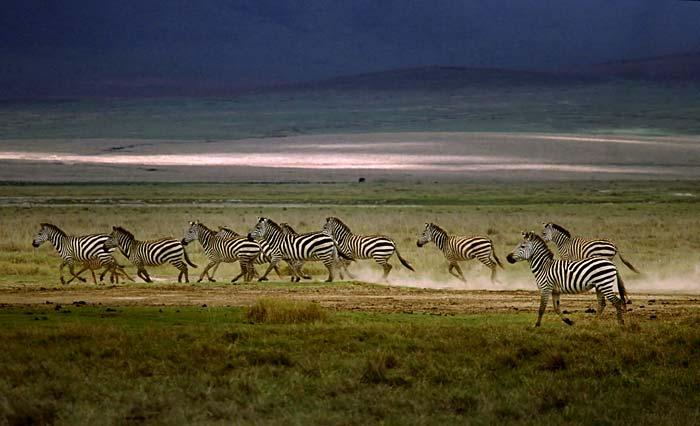 zebra_herd
