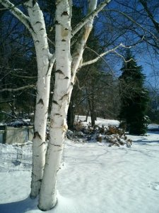 birch tree and fir in winter