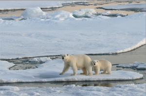 melting-glacier-polar-bears